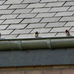 Last van vogels? Plaats een vogelwering in de dakgoot